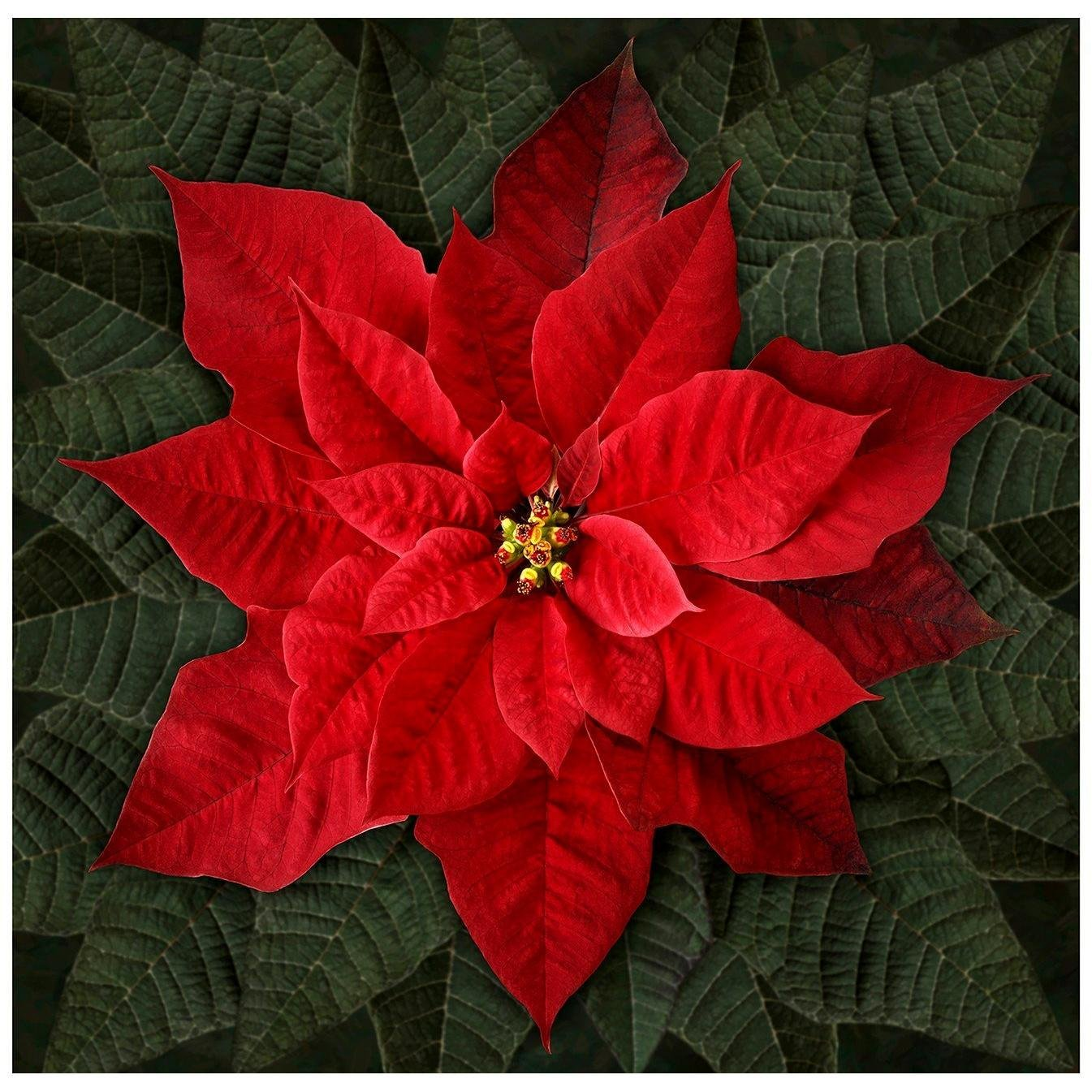 153 - Red Poinsettia panel