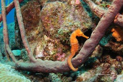 Curacao SeaHorse