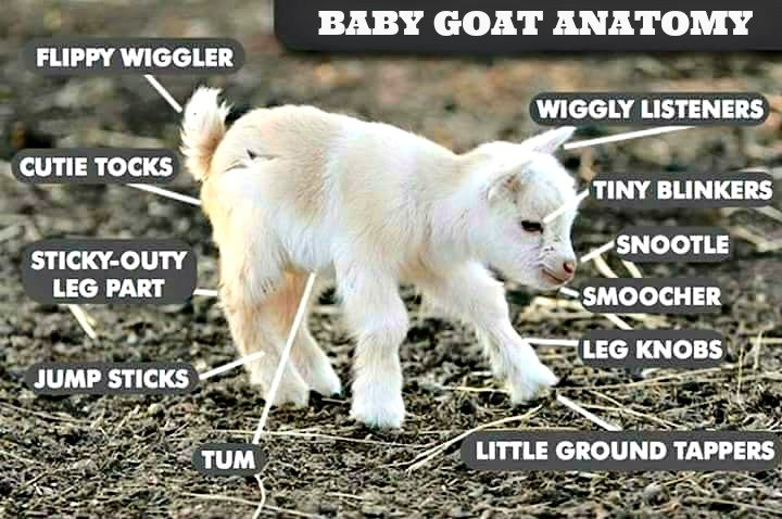 What is a good packgoat?