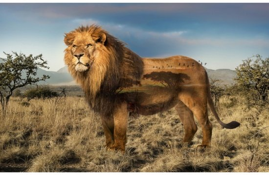 WILD KINGDOM - 27 SINGLE PANEL - LION - DIGITAL PRINT - Q4494-259