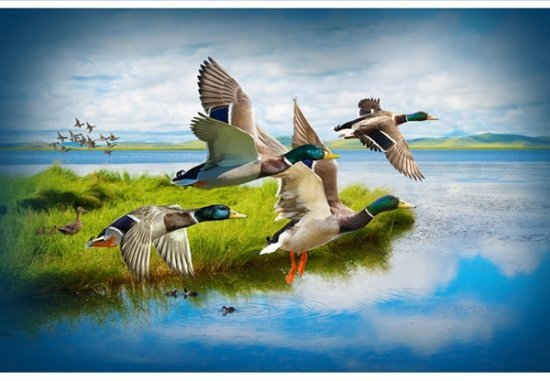 Call of the Wild Ducks  S4776-272 Mallard