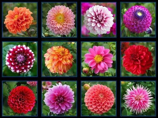 Mum Flower Garden Block Panel D493