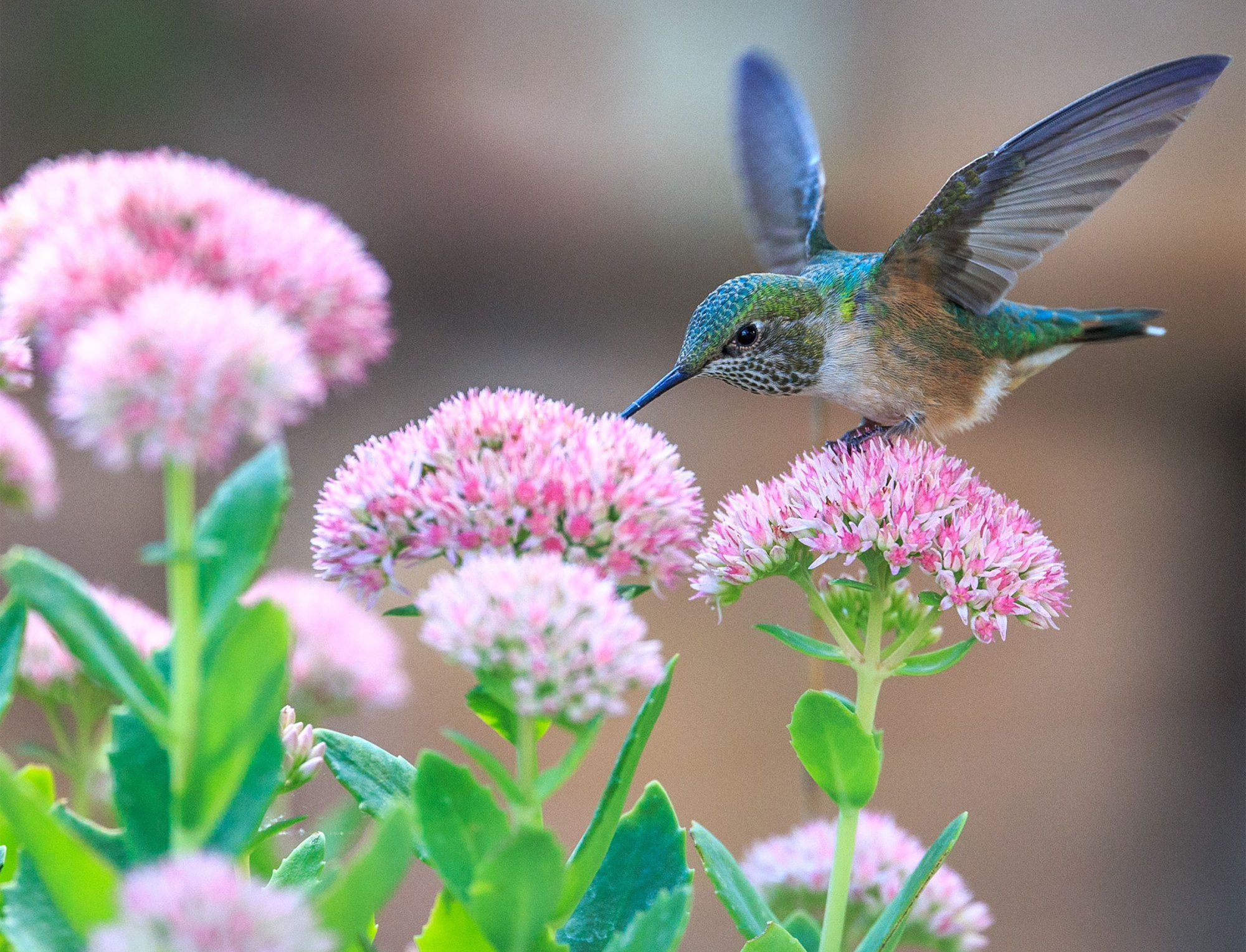 Pretty on Pink Hummingbird Digital Panel