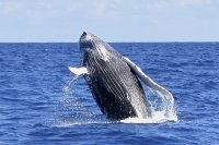 Whale Breach
