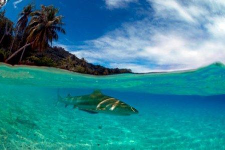 Shallow sharks in Tahiti