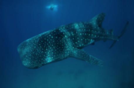 Whale shark in Cancun