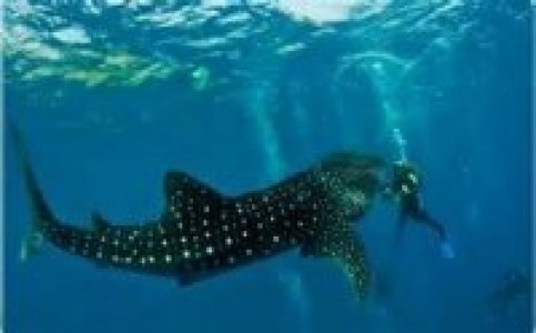 Whale shark snorkelers in Philippines