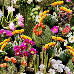 packed cacti