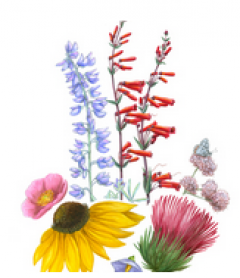 wild flower illustration