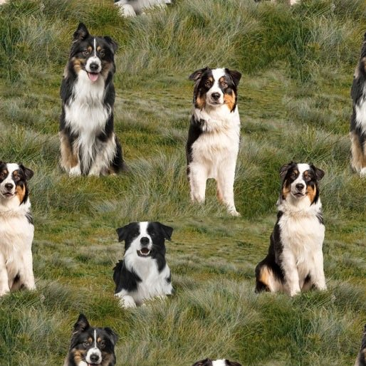 Merino Muster Collie dogs on grass