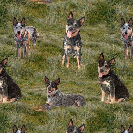 Merino Muster blue heeler dogs on grass