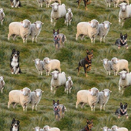 Merino Muster Dogs herding sheep