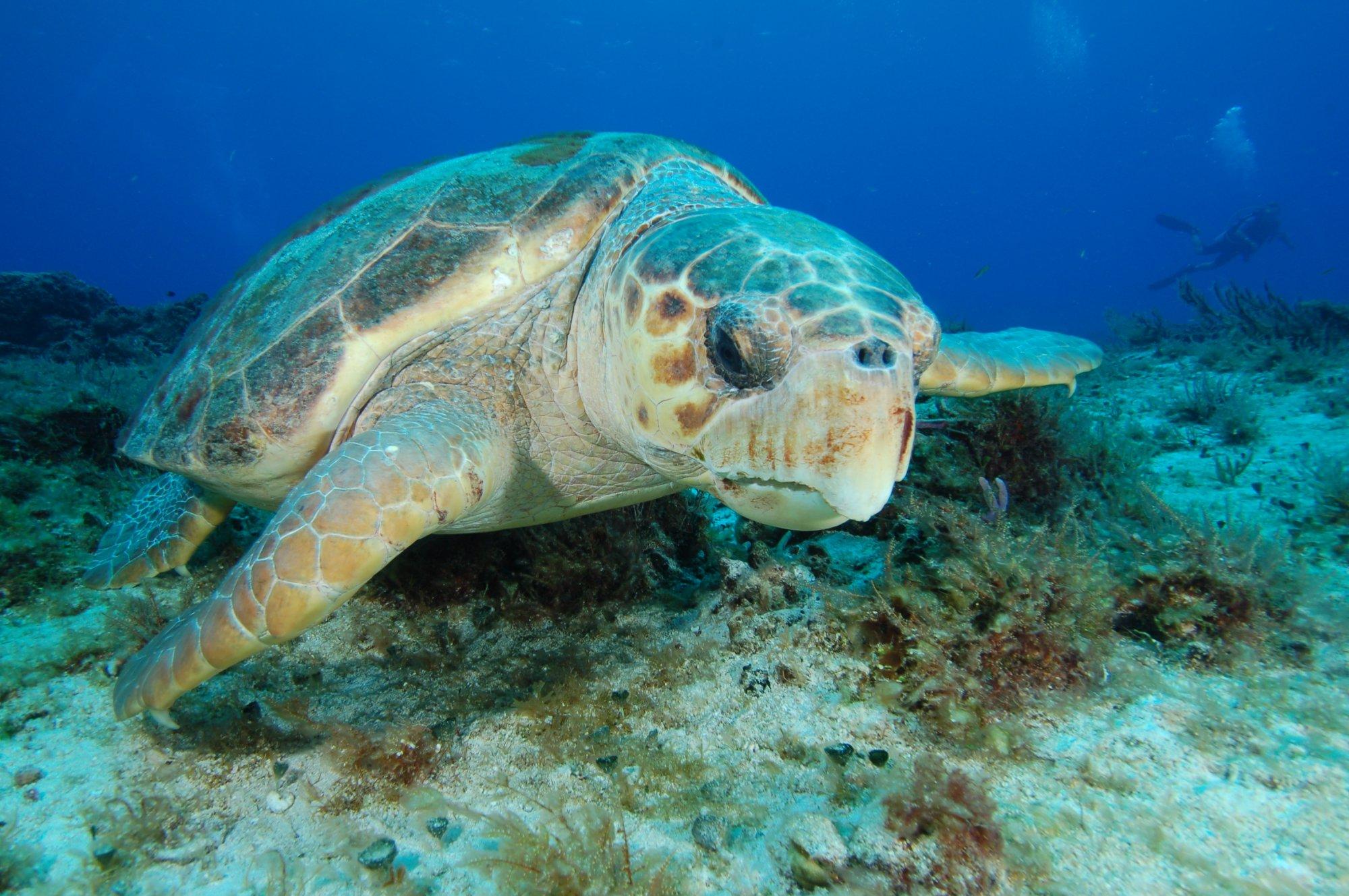 Loggerhead Turtle Dive Palm Beach