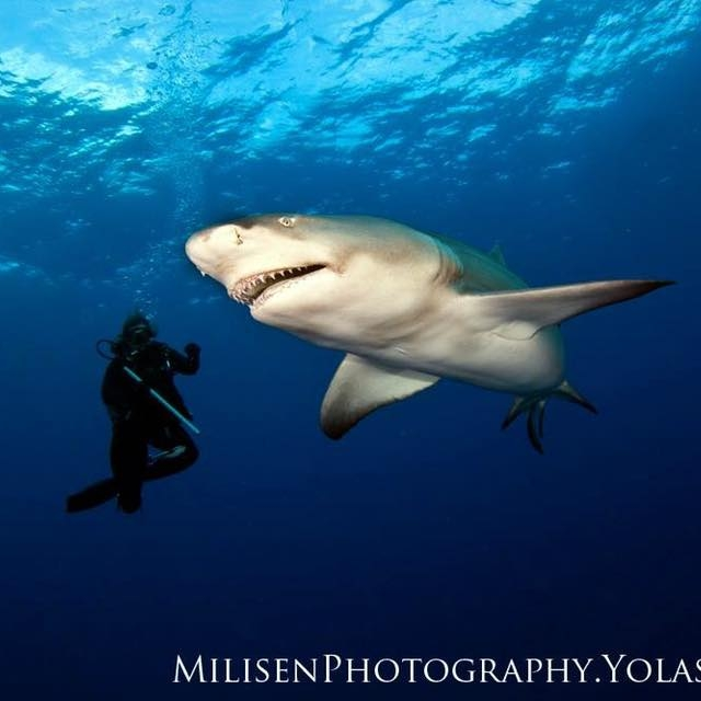 Shark Diving Jupiter Florida