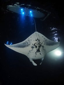 Mantaray night dive