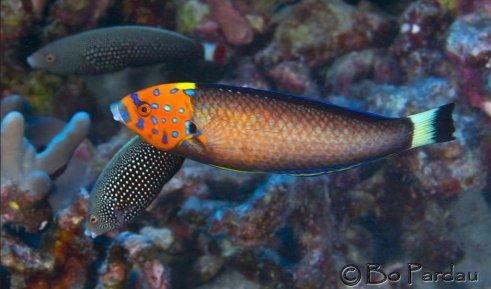 hawaiian endemic fish psycho wrass