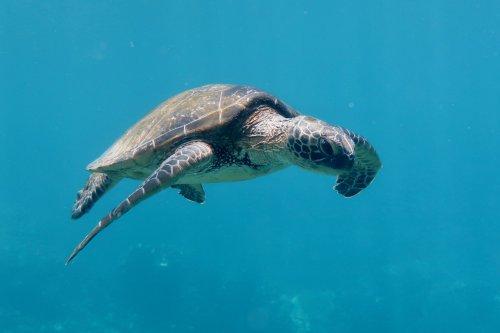 turtle kailua kona hawaii