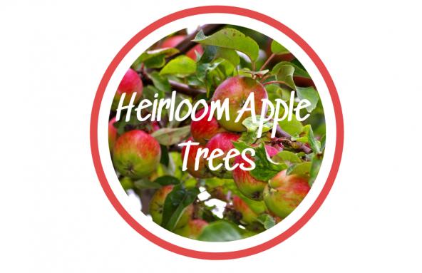 Clusters of apples in tree