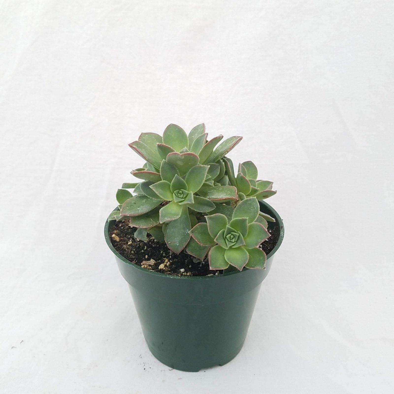 Aeonium haworthii 'Pinwheel' - 4 1/2