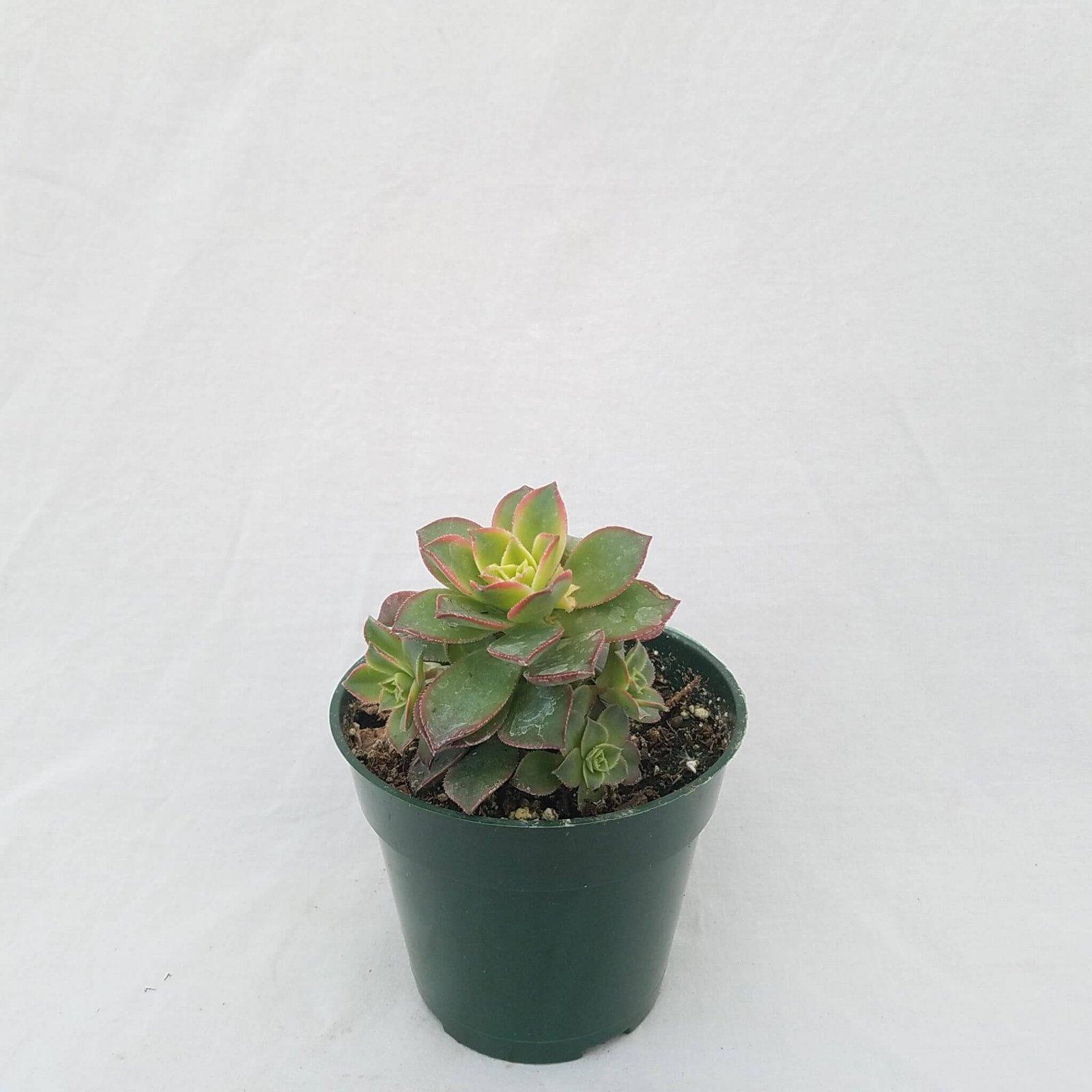 Aeonium hybrid 'Kiwi' - 4 1/2