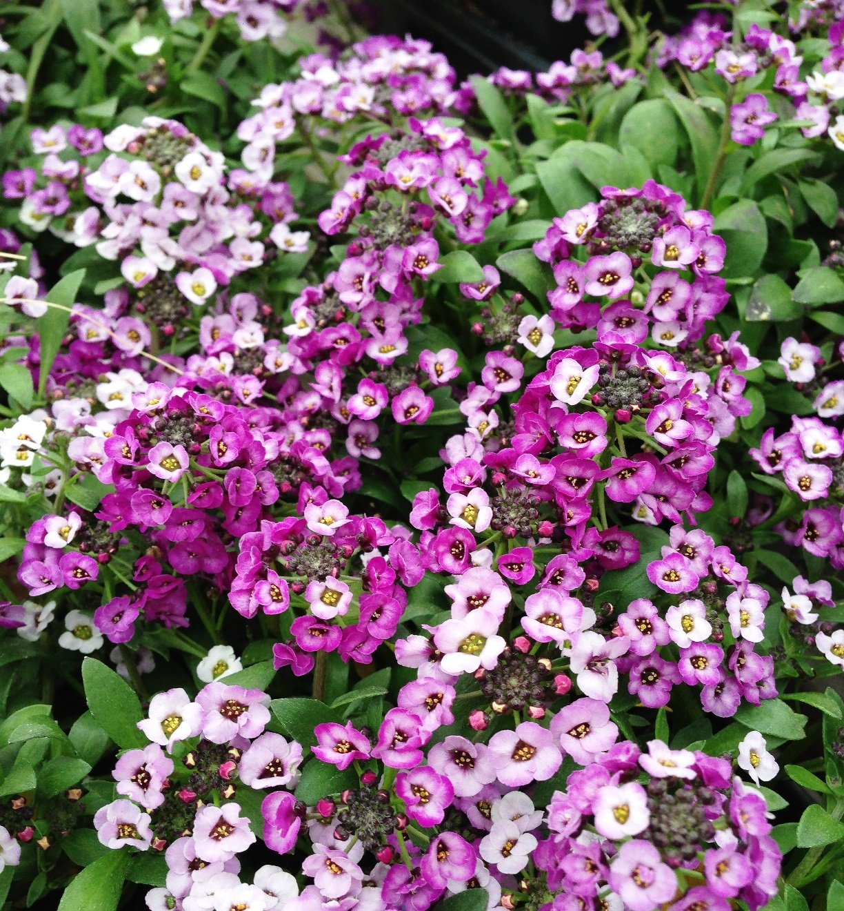 Alyssum 'Clear Crystal Lavender' - 4 1/2