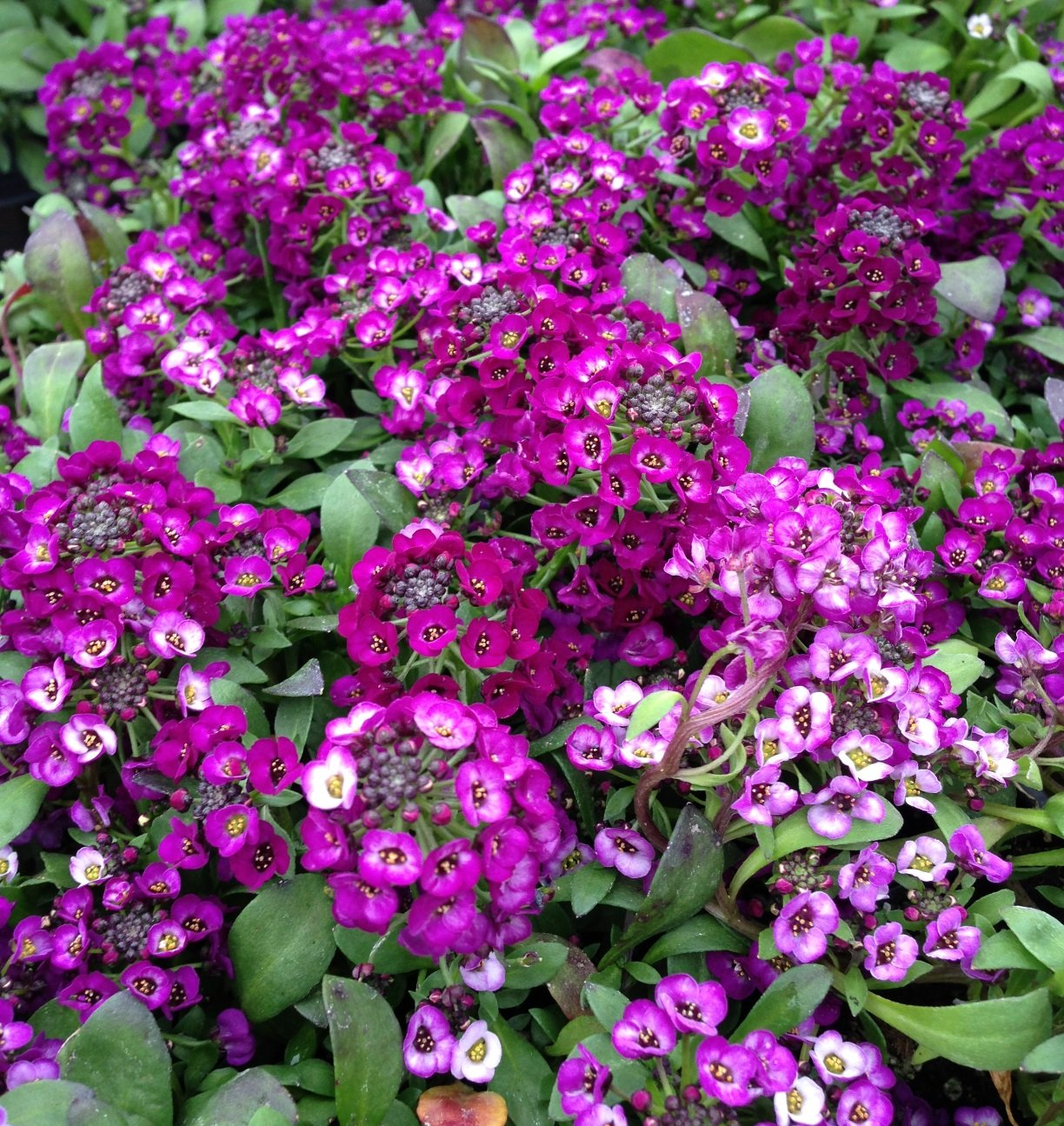 Alyssum 'Clear Crystal Purple' - 4 1/2