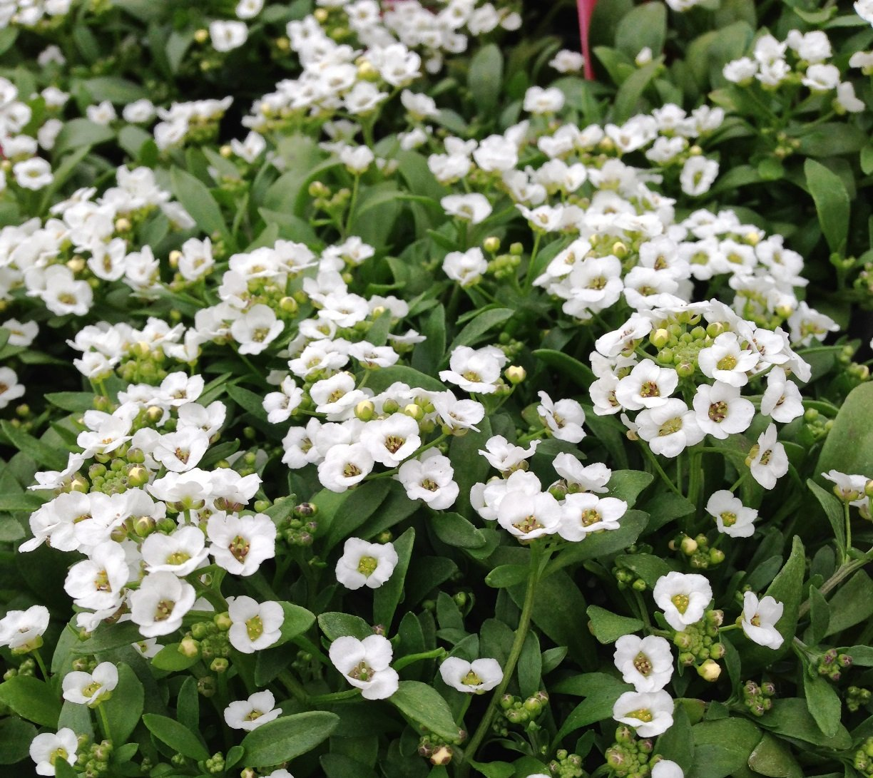 Alyssum 'Clear Crystal White' - 4 1/2
