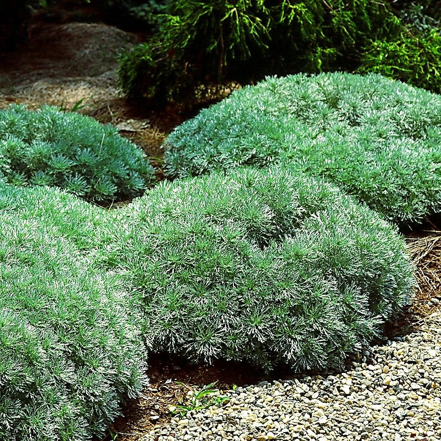 Artemisia schmitiana 'Silver Mound' - #1
