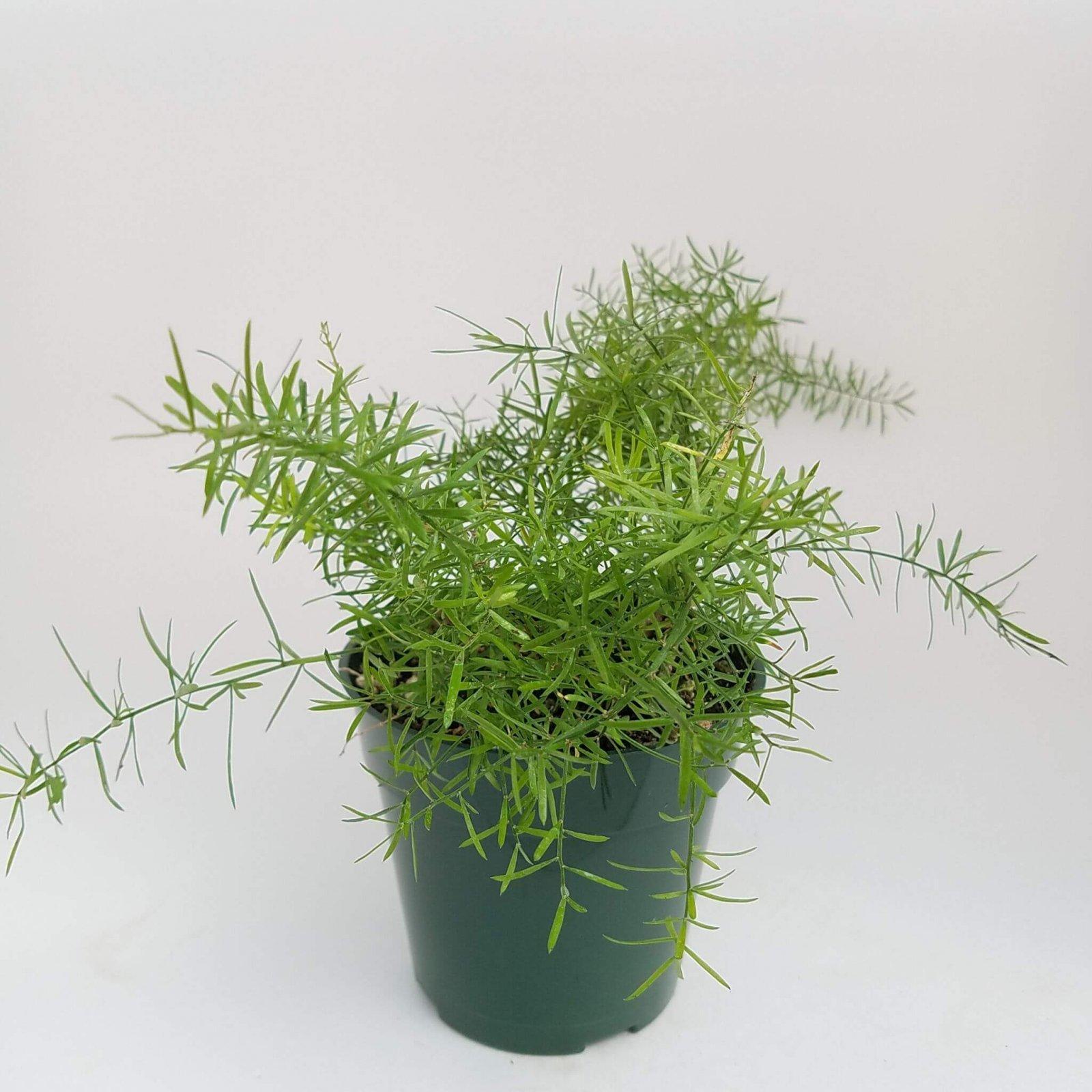 Asparagus sprengeri - 4 1/2