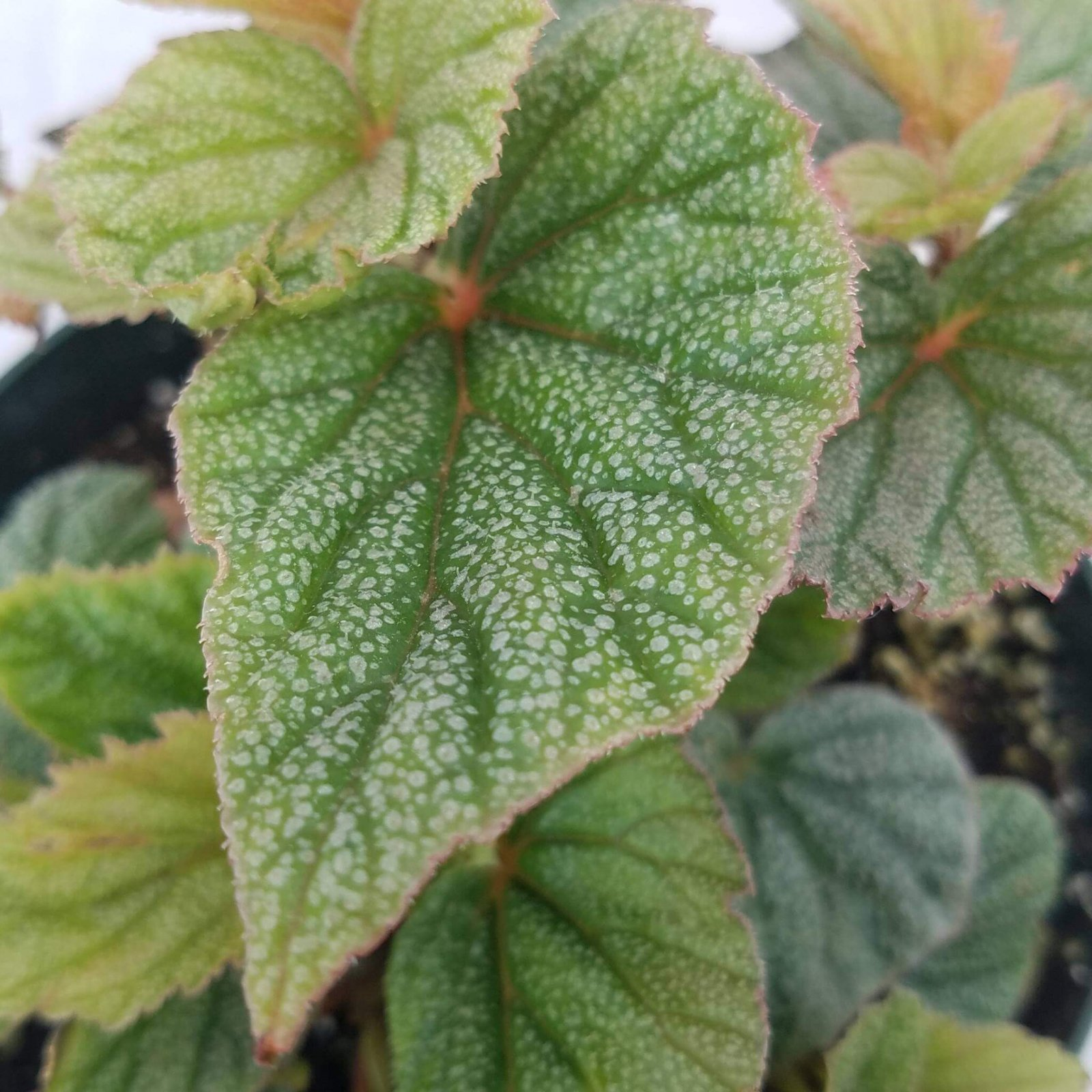 Begonia 'Angelwing Sinbad' - 6 1/2