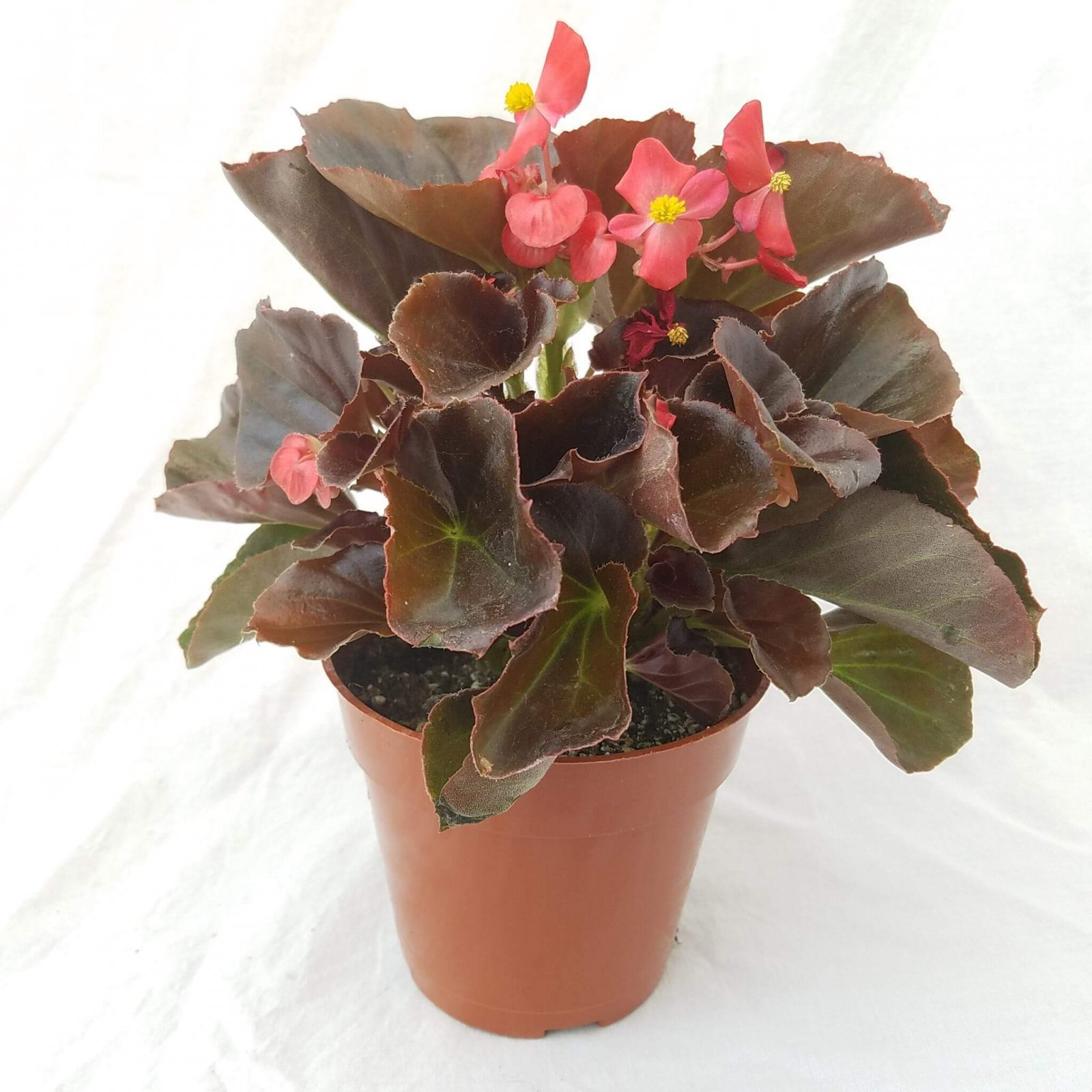 Begonia 'Harmony Scarlet' (Bronze Leaf) - 4 1/2