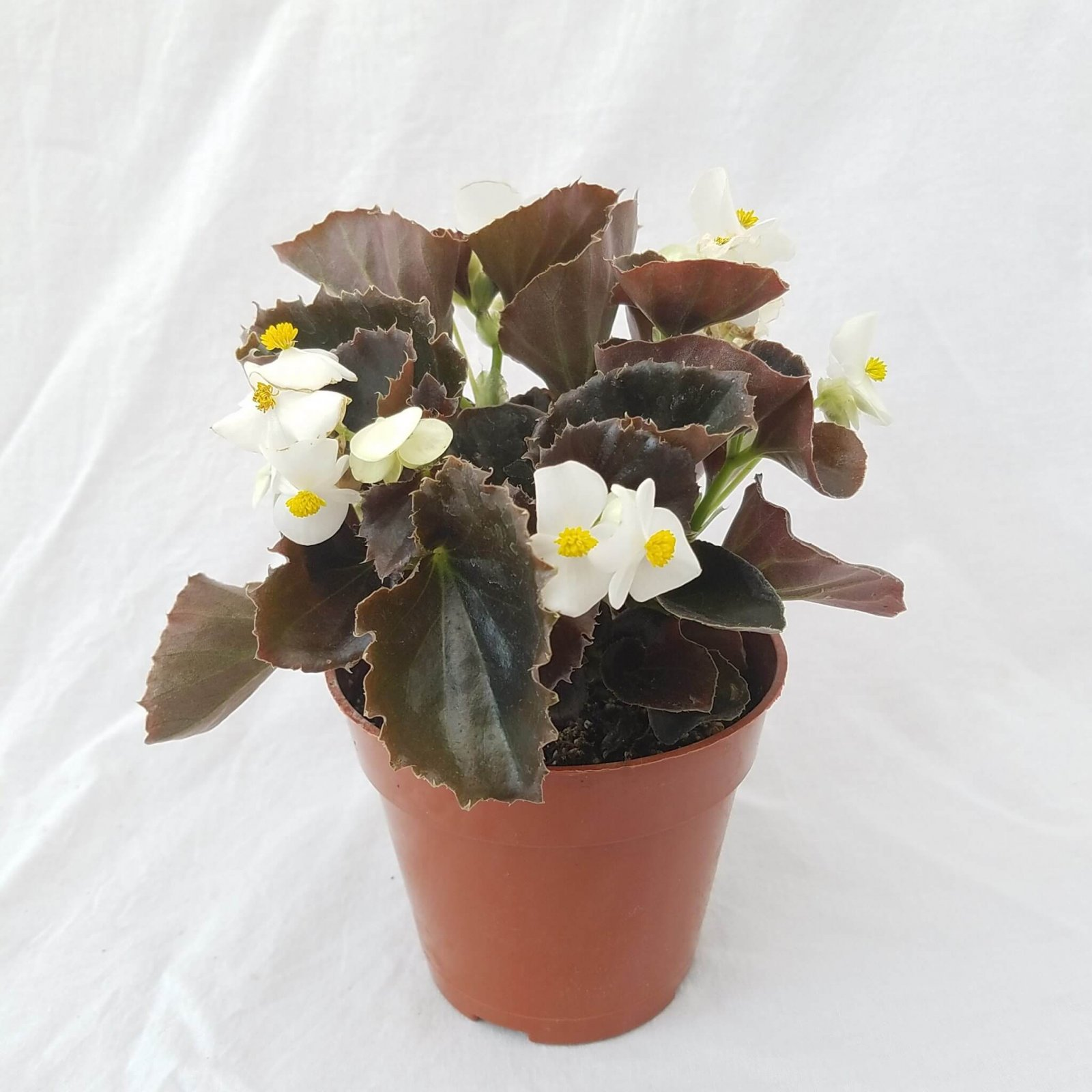 Begonia 'Harmony White' (Bronze Leaf) - 4 1/2