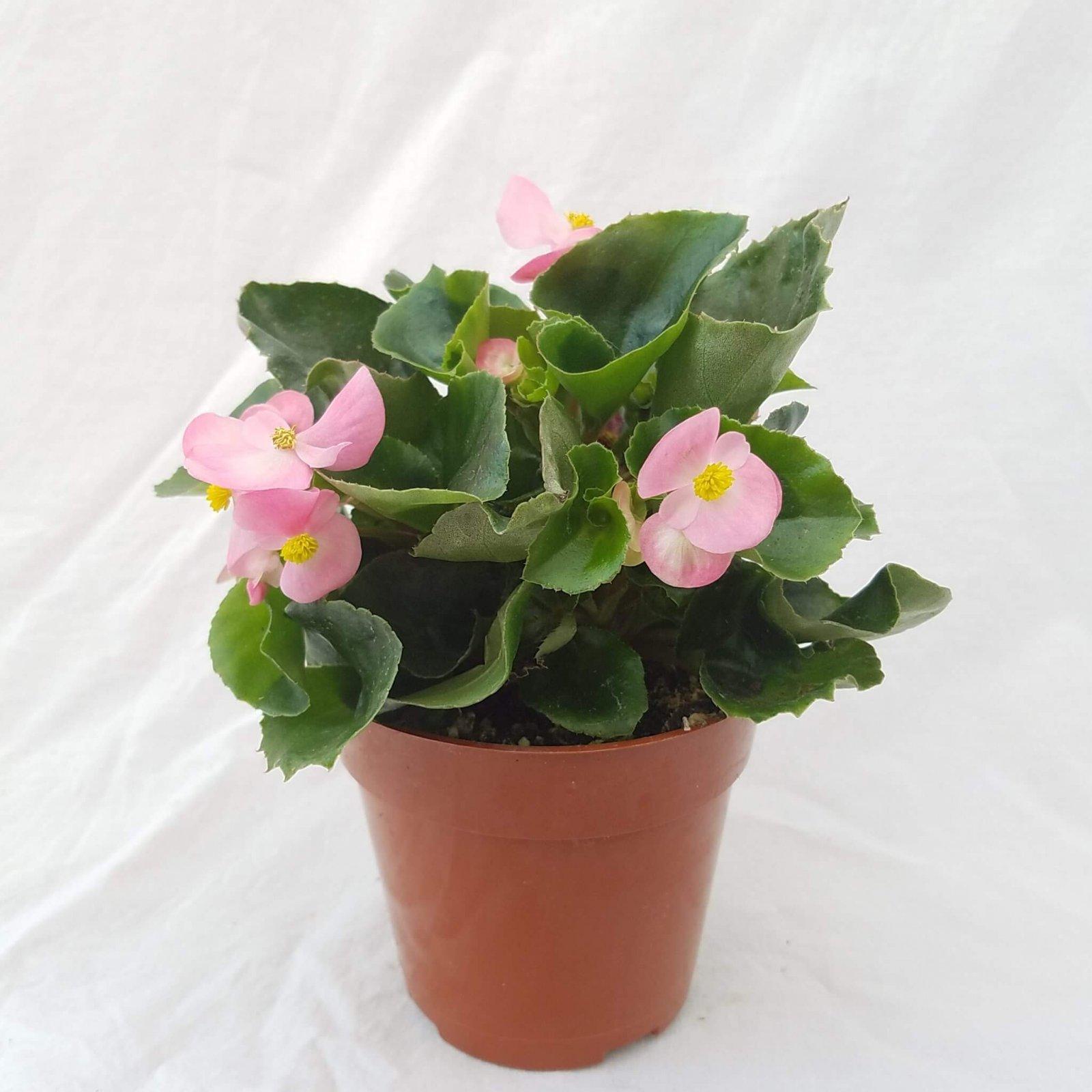 Begonia 'Prelude Pink' - 4 1/2