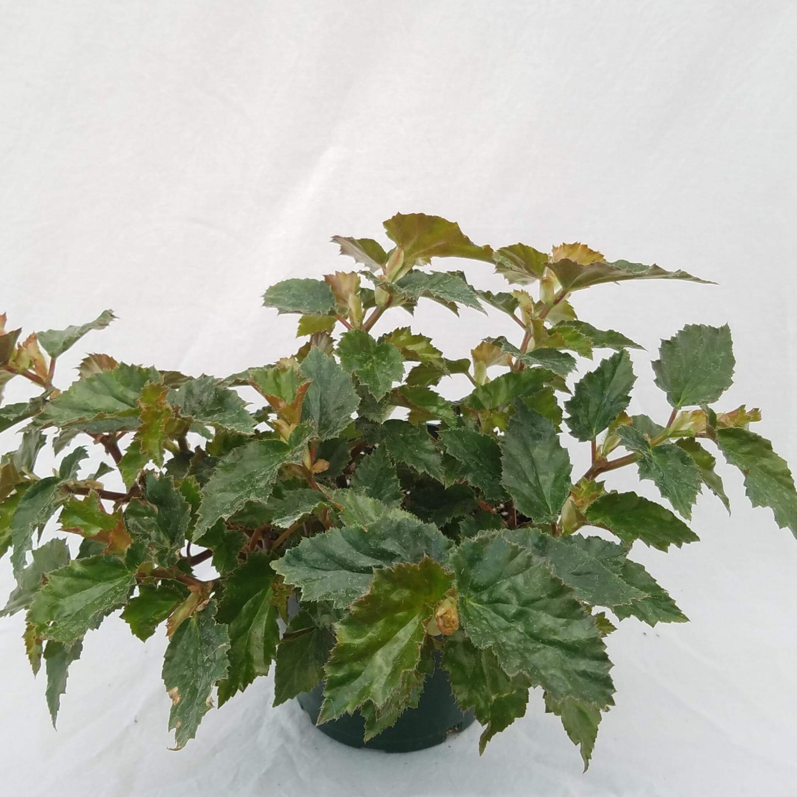 Begonia richmondensis - 6 1/2