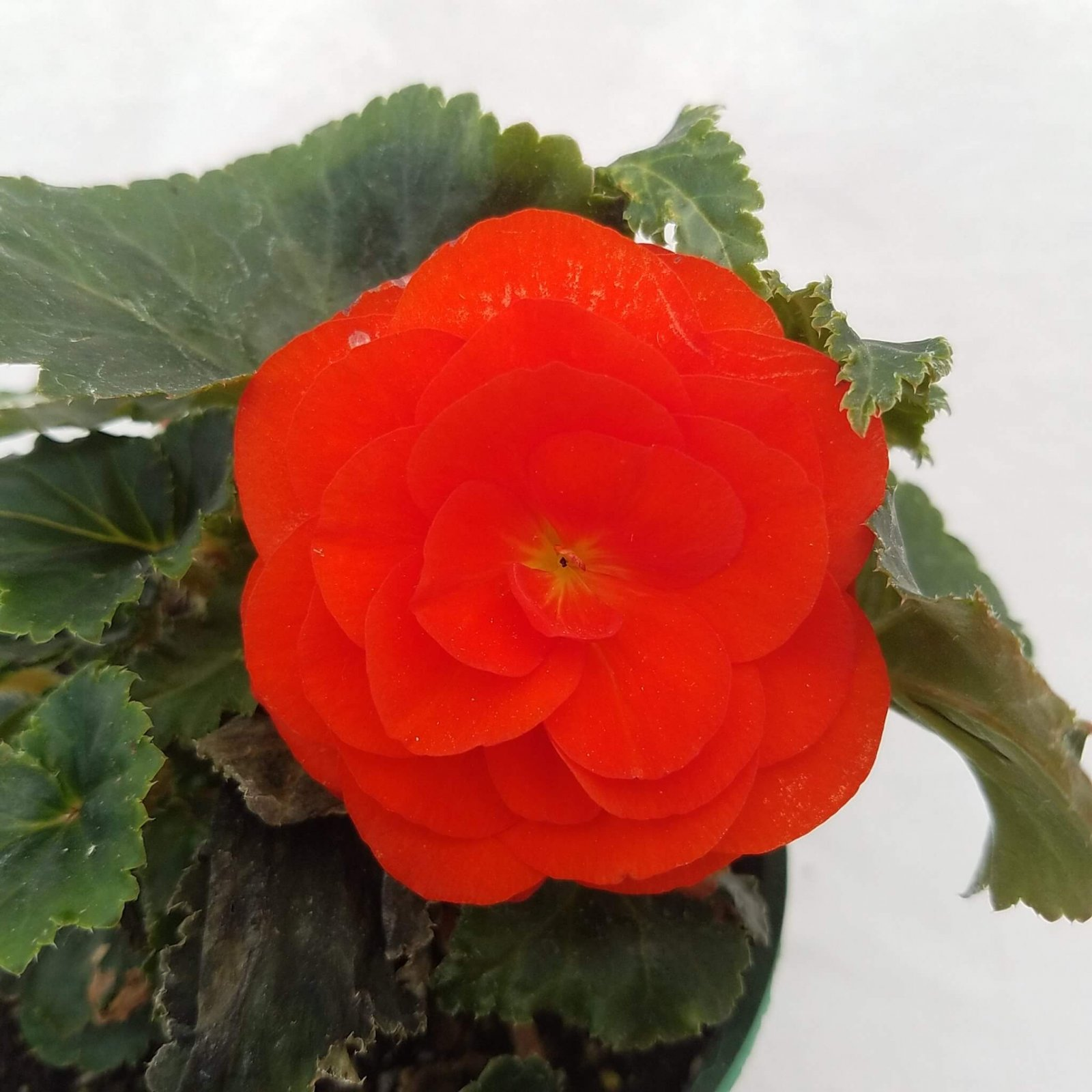Begonia tuberosa 'Bliss Orange' - 4 1/2