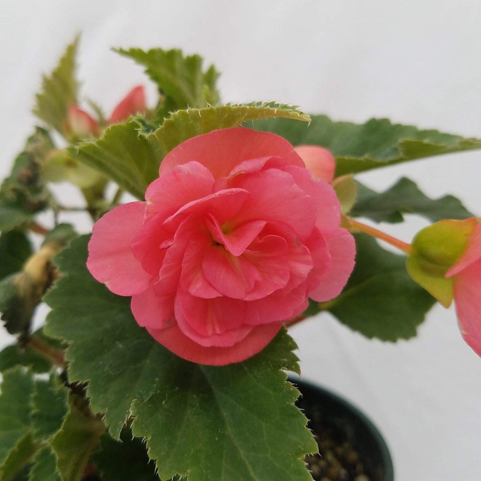 Begonia tuberosa 'Bliss Pink Shades' - 4 1/2