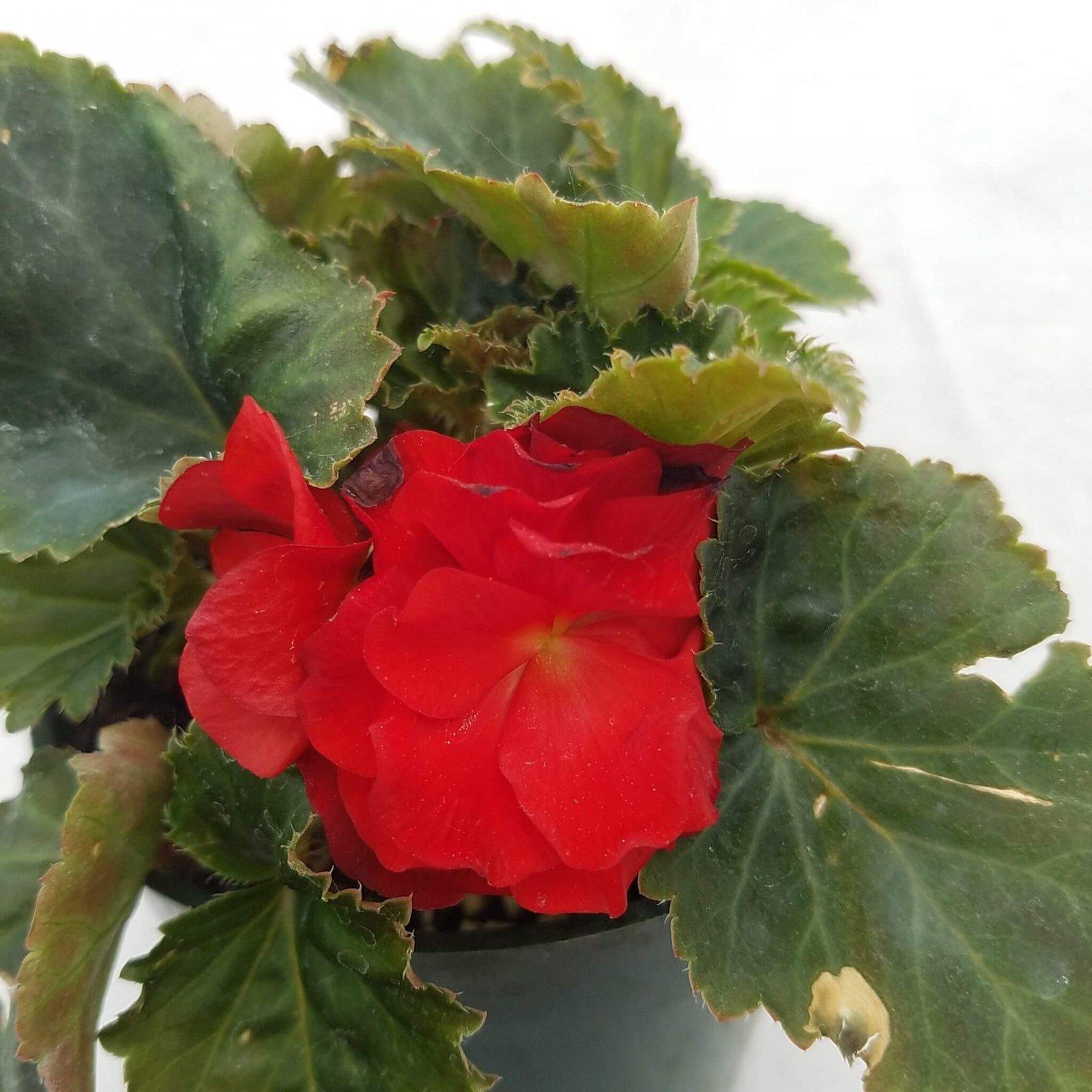 Begonia tuberosa 'Nonstop Red' - 4 1/2