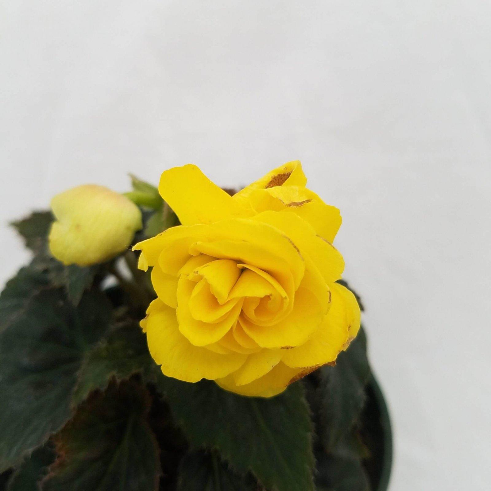Begonia tuberosa 'Nonstop Yellow' - 4 1/2