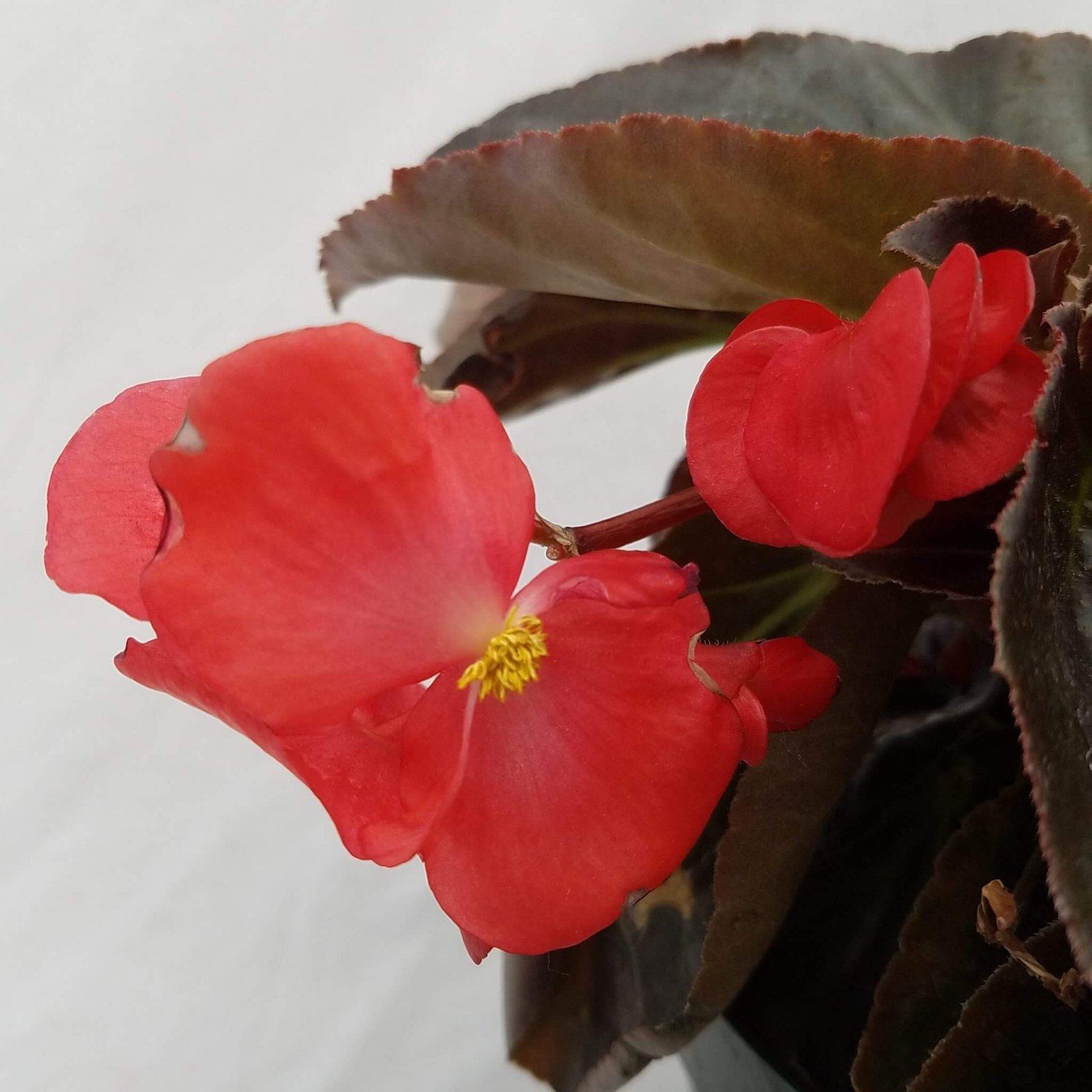 Begonia 'Whopper Red Bronze Leaf' - 6 1/2