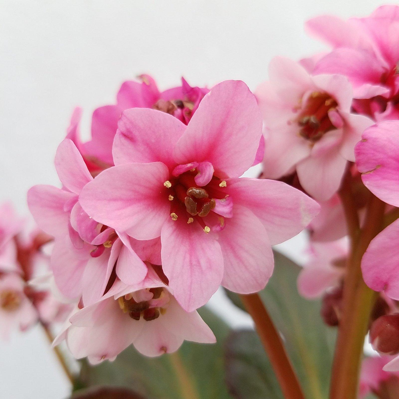 Bergenia cordifolia 'Sakura' - #1