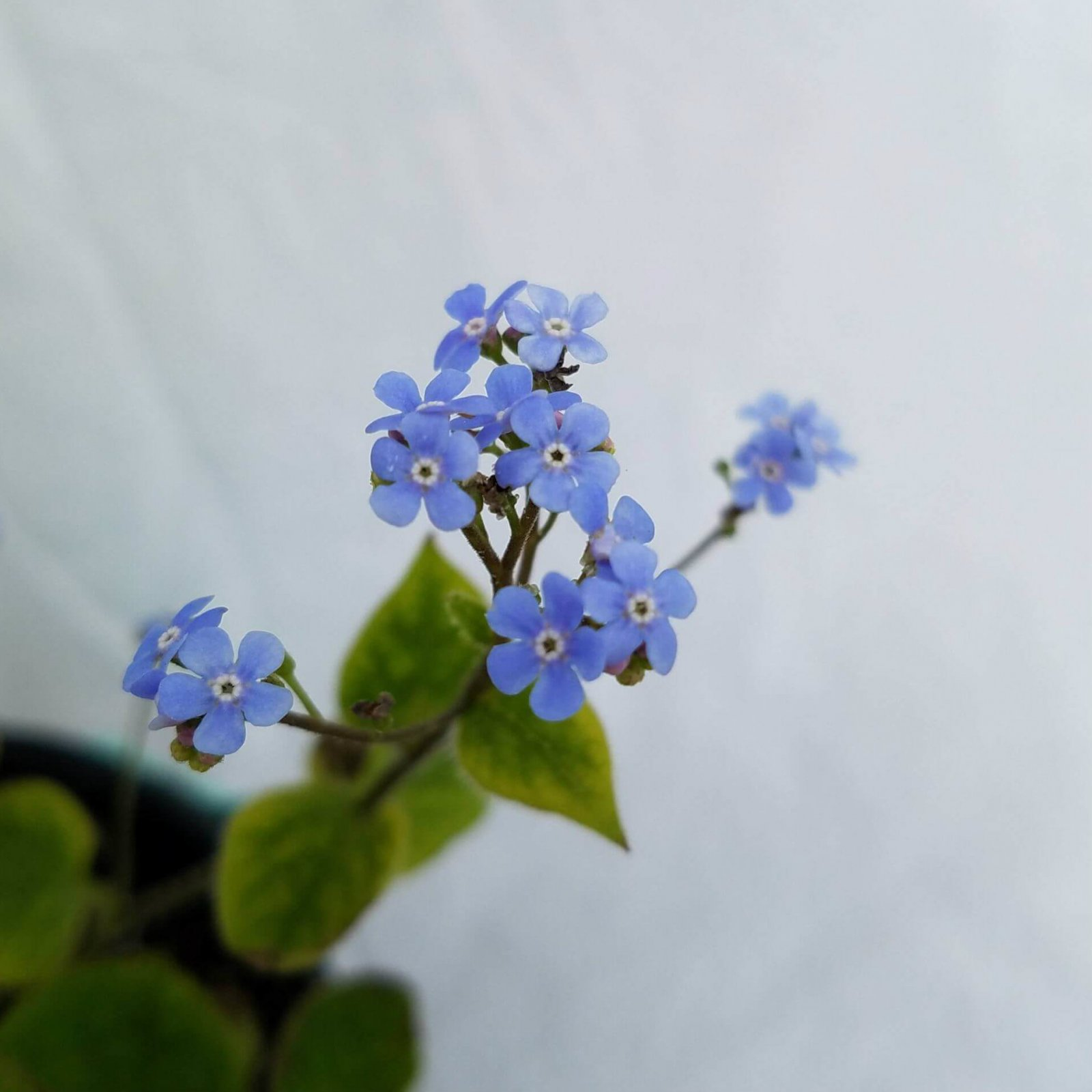 Brunnera macrophylla  - #1