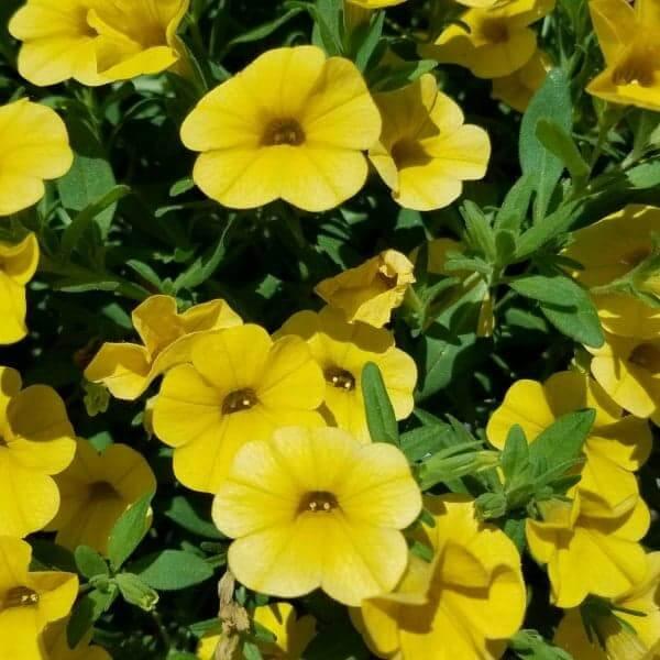Calibrachoa 'Cabaret Deep Yellow' - 4 1/2
