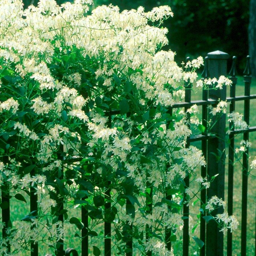 Clematis paniculata - #2