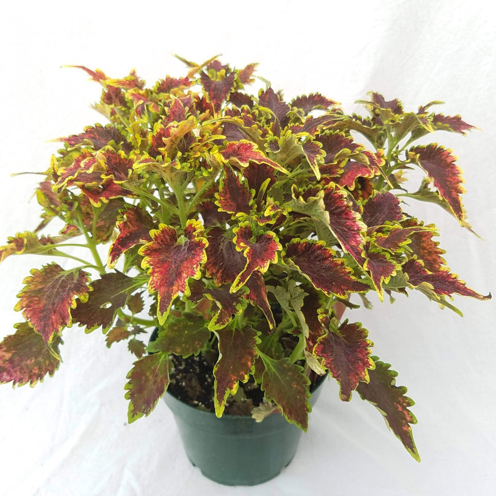 Coleus 'Olympic Torch' - 6 1/2