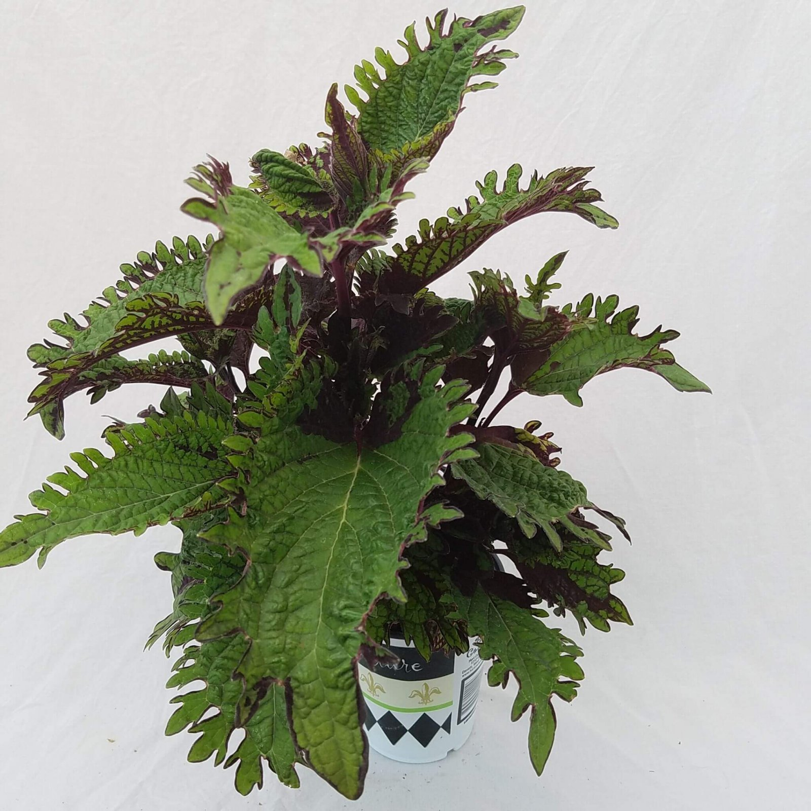 Coleus 'Under the Sea Fish Net' - 12cm