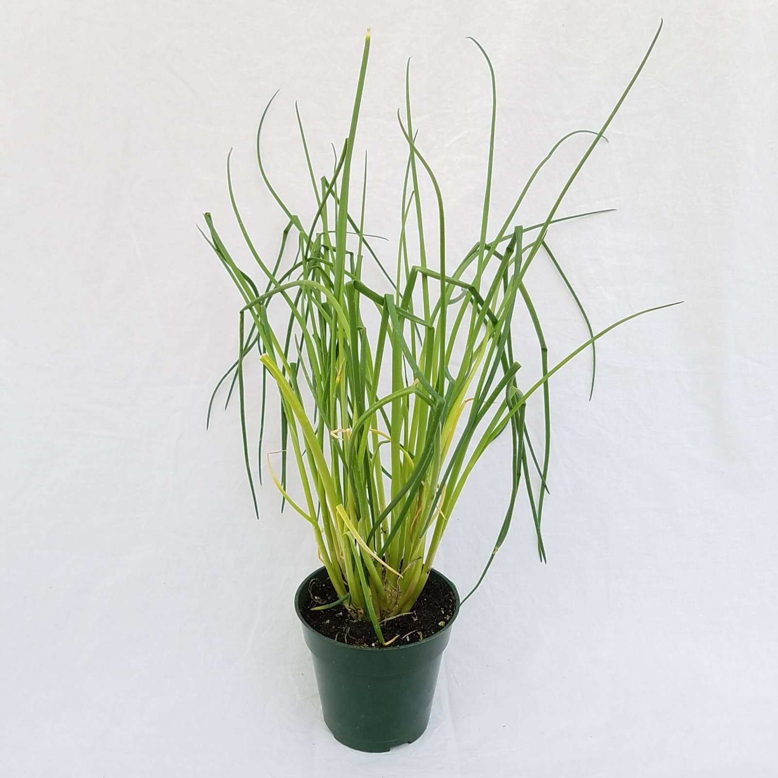 Chives 'Common' - 4 1/2