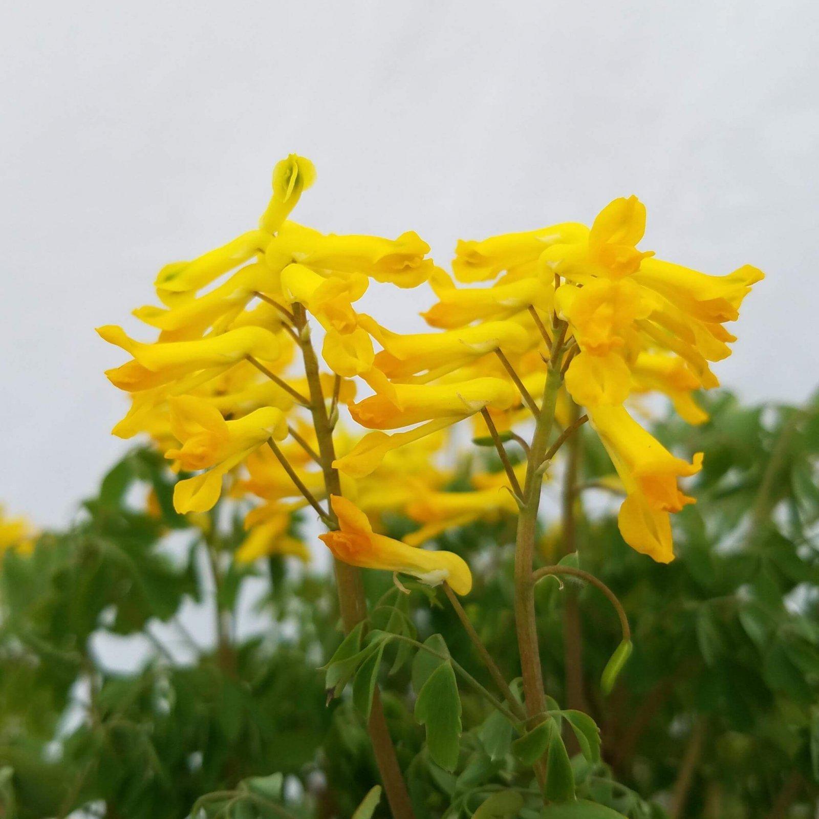 Corydalis lutea - #1