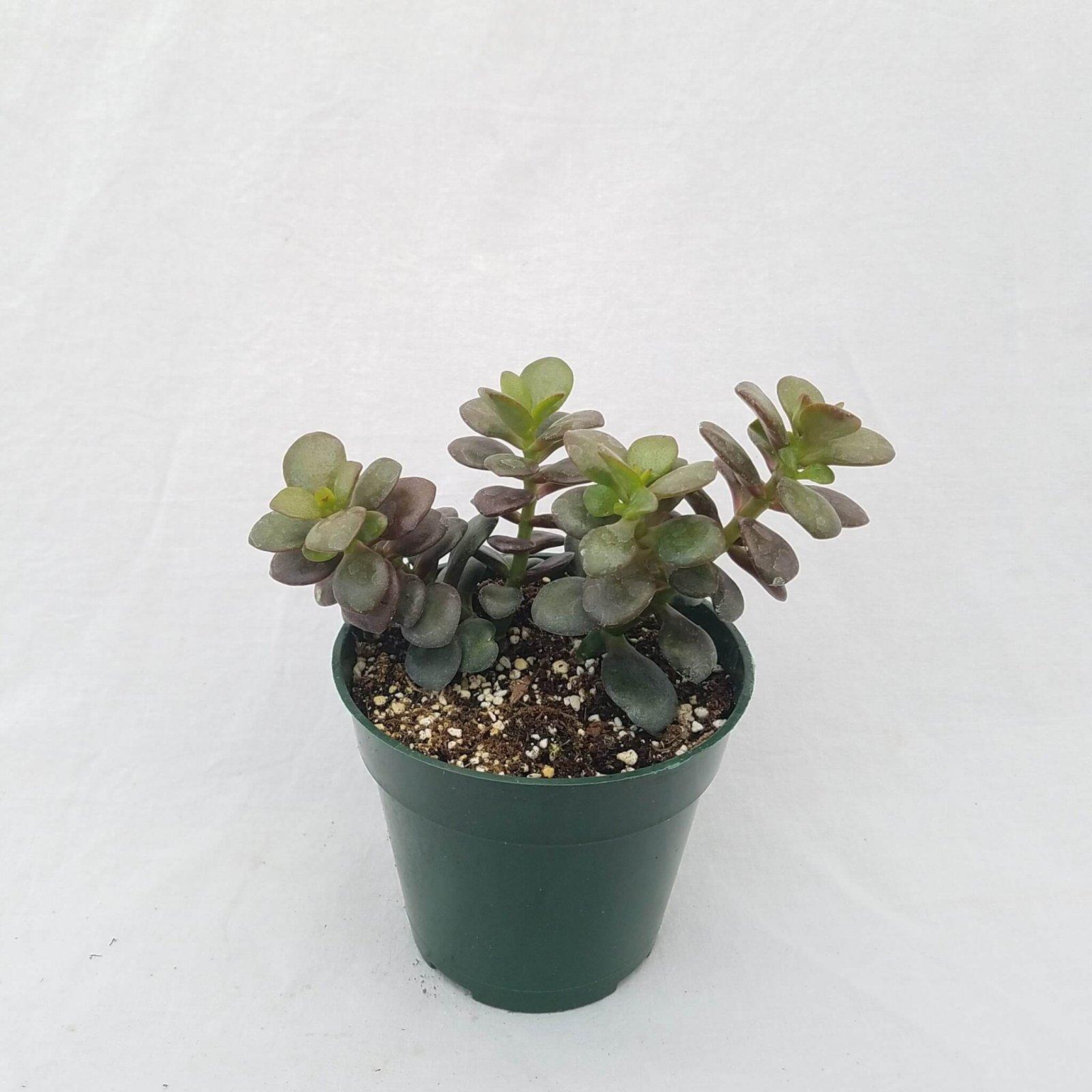 Crassula arborescens (Baby Jade) - 4 1/2