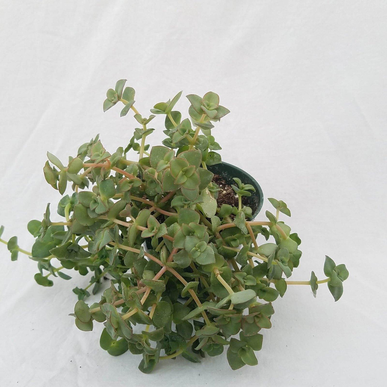 Crassula pellucida - 4 1/2