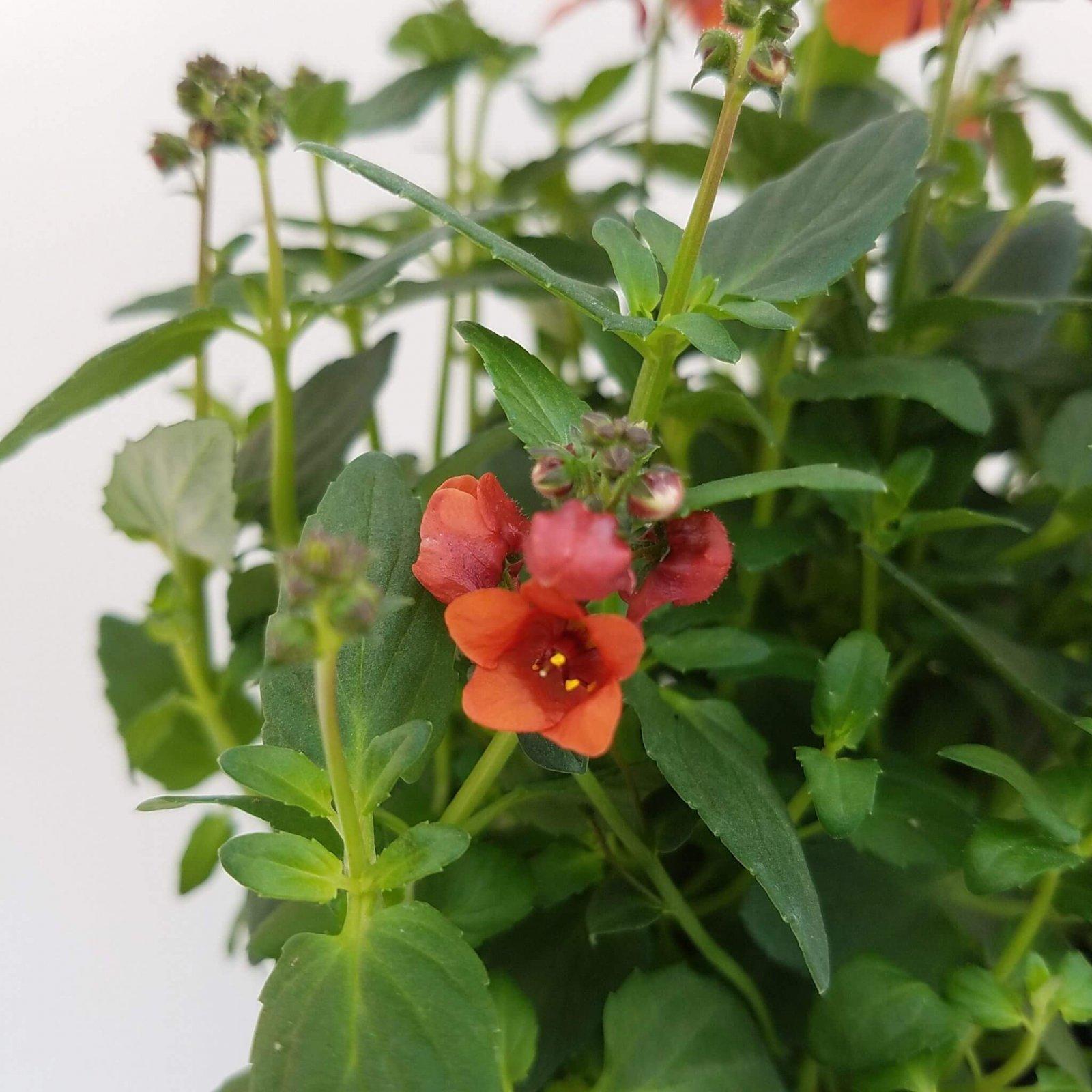 Diascia 'Juliet Orange' - 4 1/2